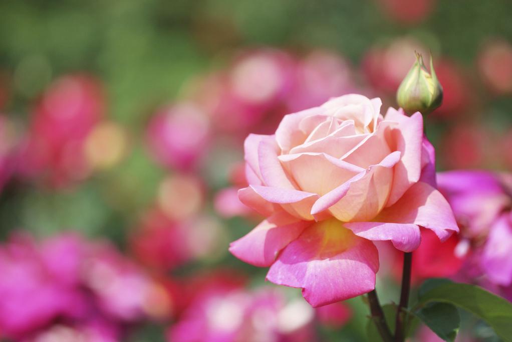 Contes des 1001 roses à l'Osmothèque, par Patricia de Nicolaï